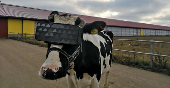 Vr-Vacas